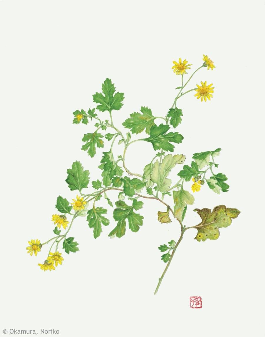 【岡村紀子:シマカンギク(キク科) Chrysanthemum indicum】