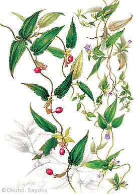 【奥野小夜子:ツルリンドウ(リンドウ科)Tripterospermum japonicum (Siebold & Zucc ) Maxim】