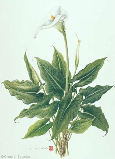 【大村セツ子:カラー(サトイモ科)Zantedeschia aethiopica】