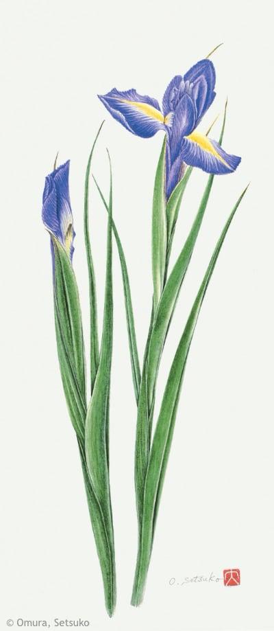 【大村セツ子:ダッチアイリス 'アイデアル'(アヤメ科)Iris (Dutch Group) 'Ideal'】