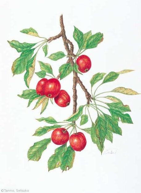 【丹野節子:リンゴ 'アルプス乙女'(バラ科)Malus domestica 'Alps Otome'】