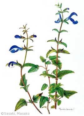 【佐々木正子:ソライロサルビア(シソ科)Salvia patens Cav.】