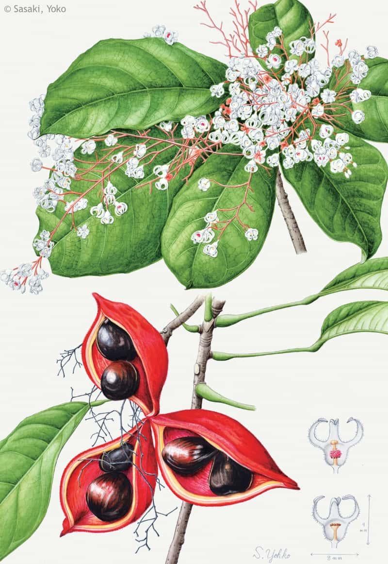 【佐々木容子:ピンポンノキ(アオイ科) Sterculia monosperma var. monosperma】