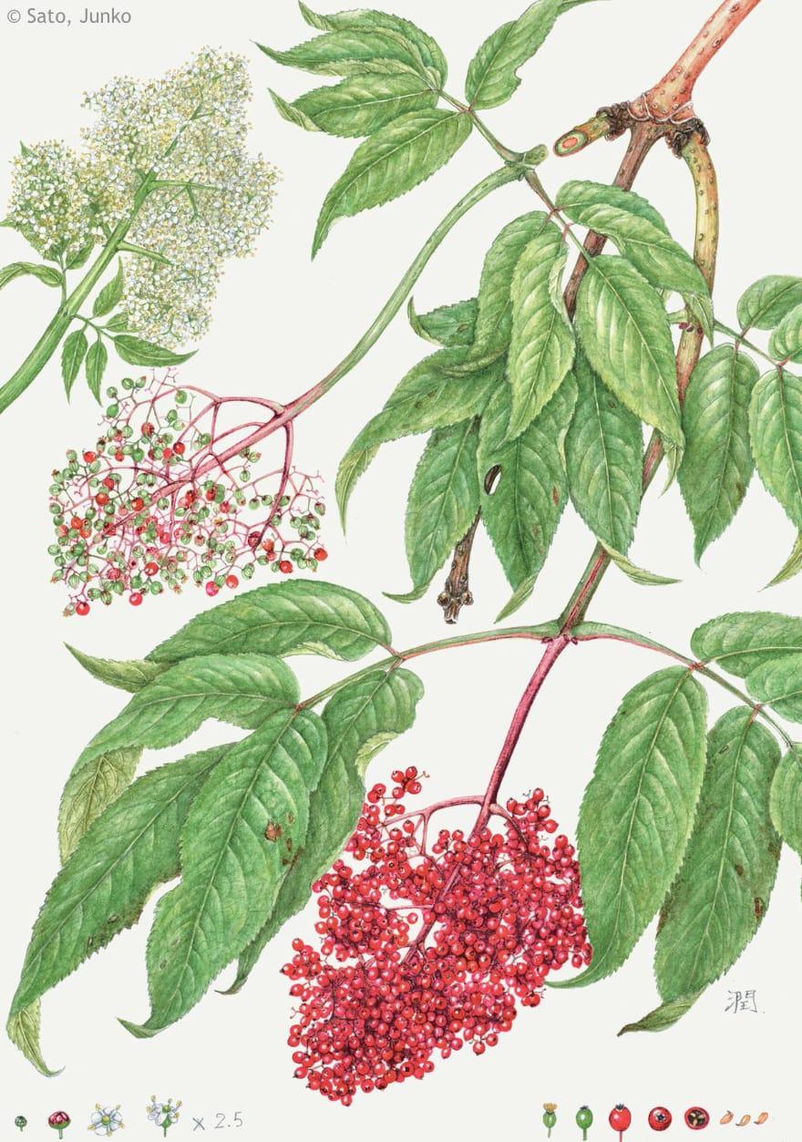 【佐藤潤子:エゾニワトコ(レンプクソウ科) Sambucus racemose subsp. kamtschatica】