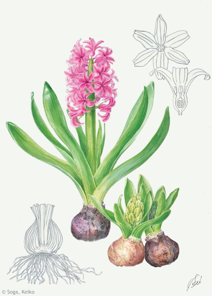 【曽我恵子:ヒアシンス(キジカクシ科) Hyacinthus orientalis cv.】