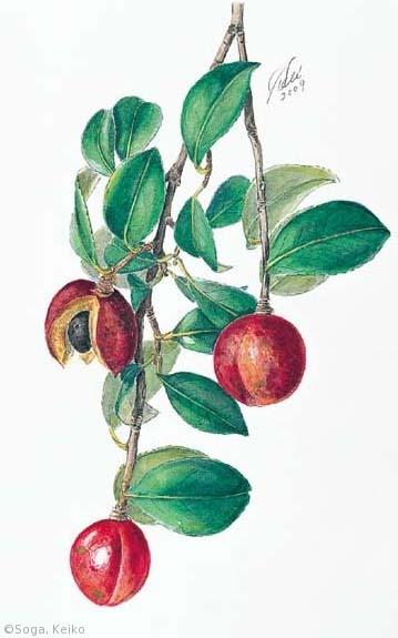【曽我恵子:ツバキ(栽培品種;果実)(ツバキ科)Camellia japonica cv.】