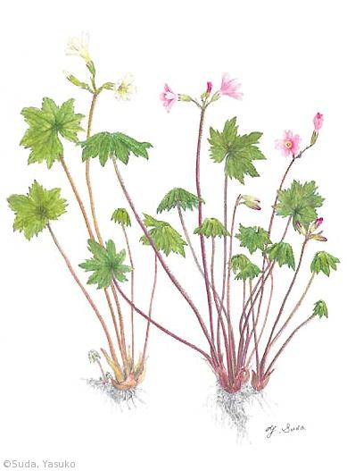 【須田靖子:テシオコザクラ、モモイロテシオコザクラ(サクラソウ科)Primula takedana, Primula takedana × P. hidakana】