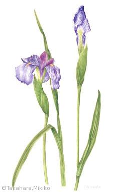 【高原幹子:ハナショウブ Iris ensata】