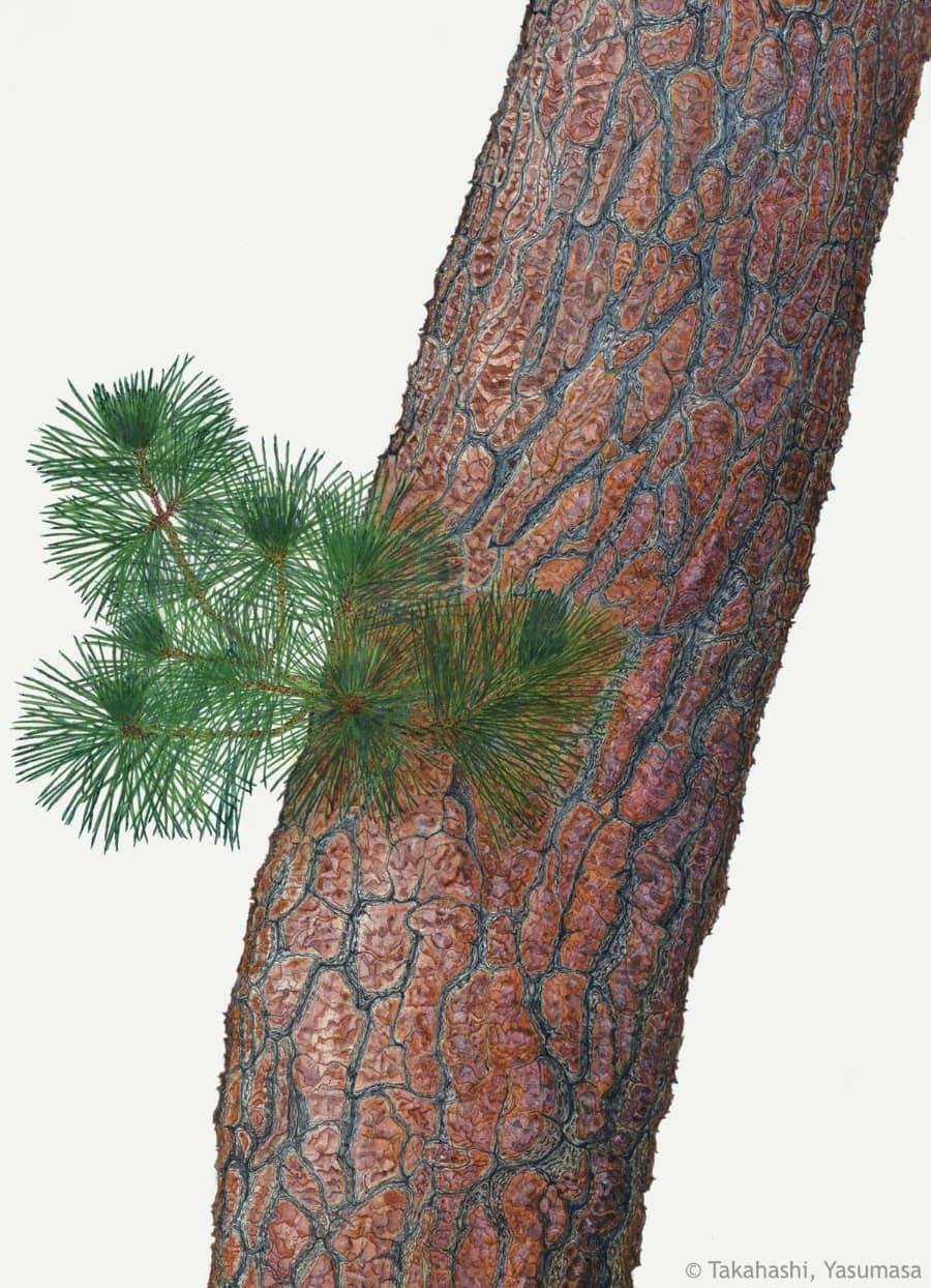 【高橋靖昌:アカマツ(マツ科) Pinus densiflora】