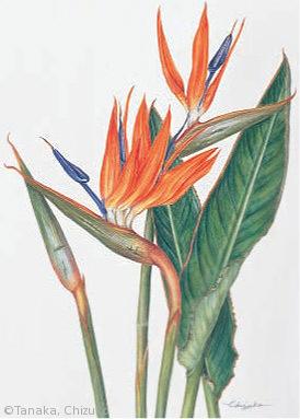 【田中千壽子:ストレリチア・レギナエ(ゴクラクチョウ科(旧バショウ科))Strelitzia reginae】