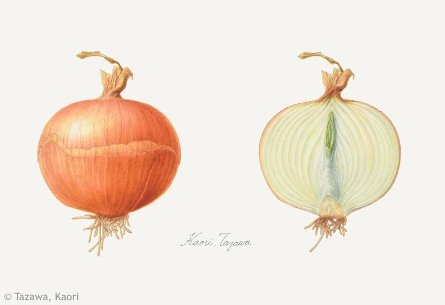【田澤かおり:タマネギ(ネギ科)Allium cepa (Cepa Group) cv.】