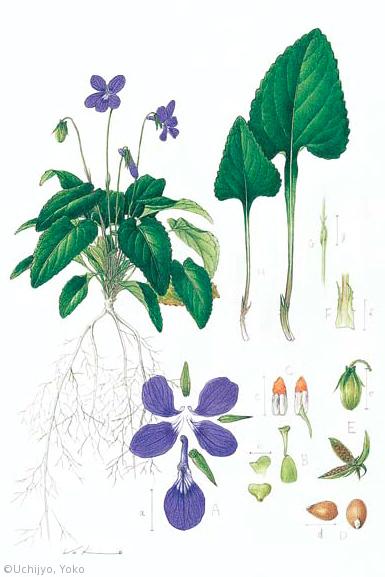 【内城葉子:リュウキュウコスミレ(スミレ科)Viola phillippica var. pseudojaponica】