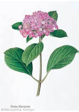 【丸山きみよ:ウズアジサイ(アジサイ科(旧ユキノシタ科)Hydrangea macrophylla 'Concavosepala'】