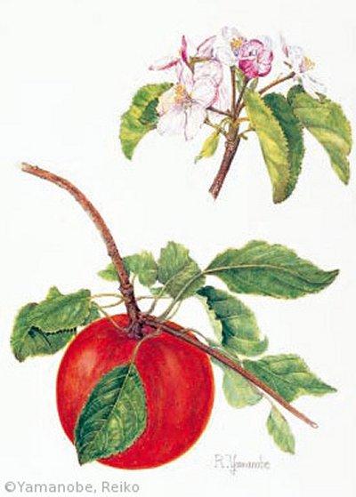 【山野邊れい子:リンゴ(バラ科)Malus pumila cv.】