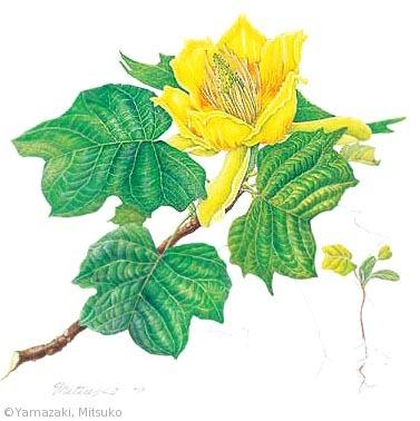 【山﨑光子:ユリノキ(モクレン科)Liriodendron tulipifera】