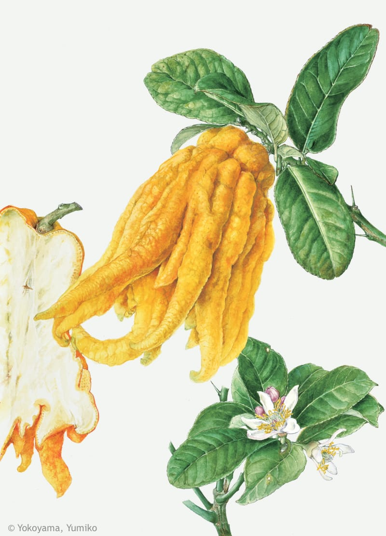 【横山裕三子:ブッシュカン(ミカン科) Citrus medica 'Sarcodactylis' 】