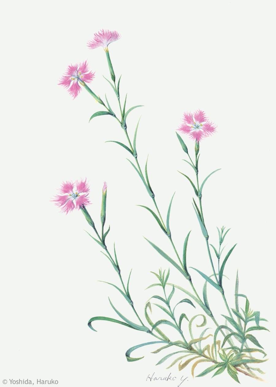 【吉田晴子:カワラナデシコ(ナデシコ科)Dianthus superbus var. longicalycinus】