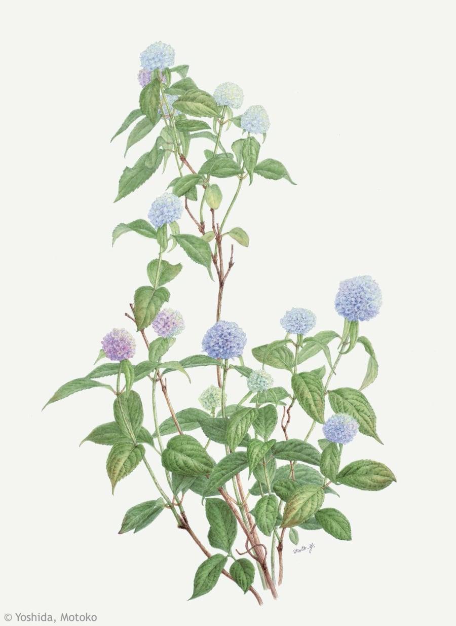 【吉田素子:ヤマアジサイ 伊予獅子手まり(アジサイ科)Hortensia serrata Iyo-shishi-temari】